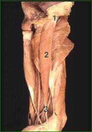 Almen muskellære | Præsentationer | Anatomionline.dk