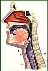 stemmelæber anatomi