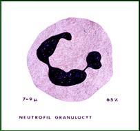 neutrofile granulocytter